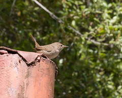 House Wren (Madrone Soda Springs (historical), California, United States) Photo