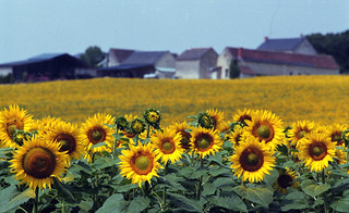 SUNFLOWERS OF PROVENCE, FRANCE