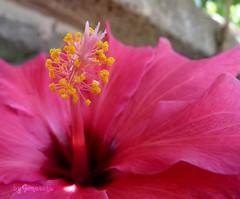 Gineceo y Androceo (Gomereta) Tags: flor hibiscus hibisco jardín gineceo androceo vosplusbellesphotos