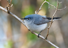 Blue-gray Gnatcatcher (Harrier) Tags: blue bird nj posing gnatcatcher nwr greatswamp bluegraygnatcatcher polioptilacaerulea