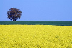 Colza/Rapeseed (Jeff Steiner) Tags: flowers trees france field yellow french landscape countryside farm burgundy rapeseed colza