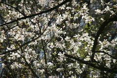 IMG_4793 (shinyai) Tags: japan aomori hirosaki