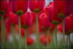through the forest (Kadacat (Marlene)) Tags: flowers red colour macro garden tulips bokeh steps tulip tulipfestival museumofcivilization tulipfest blueribbonwinner aroundottawa frontpageexplore mywinners canon40d kadacat museumofciviliation malakkarshgarden