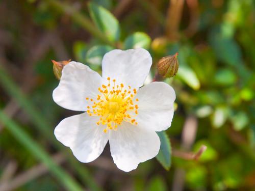 Alpine Rose 高山薔薇