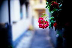 rose alley (moaan) Tags: leica blue flower color rose 50mm spring alley flora backalley dof bokeh may tint f10 neighborhood utata bloom flowering noctilux hue 2009 leicam7 blooming rosy m7 florescence vicinity inbloom efflorescence fujivelvia100 rvp100 floriculture explored leicanoctilux50mmf10 gettyimagesjapanq1 gettyimagesjapanq2