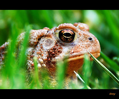 Toad very serious (Linda Goodhue) Tags: brown ontario canada colour detail macro green nature field grass composition garden spring eyes focus dof bokeh reptile essexcounty curves border frog warts toad crop windsor framing sharpen bumps nostrils earthsnatureunlimited reptileandamphibia