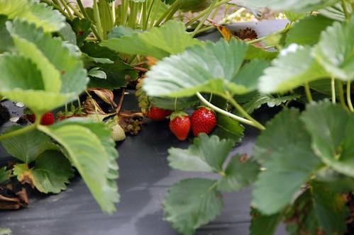 berry picking