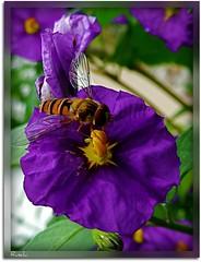 Purple Beauty with its visitor (ruschi_e) Tags: flower insect schweiz switzerland purple blume visitor insekt soe besucher violett blueribbonwinner beautifulphoto bej abigfave anawesomeshot platinumheartaward excapture macromarvels ruschie awesomeblossoms fantasticinsect kunstplatzlinternational lovely~lovelyphoto