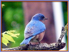 BlueBird (chippewabear) Tags: park bird fdsflickrtoys indiana bluebird urbanbirds martinsville morganco thewonderfulworldofbirds