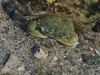 I know I'm a Crab but I look like a frog (Nature-as-is) Tags: crabs marinelife oceanimages