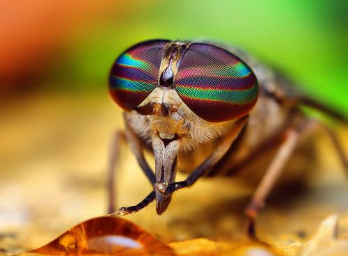 フリー画像| 節足動物| 昆虫| 虻/アブ|        フリー素材|