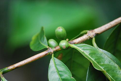 Kona Coffee - in the Raw