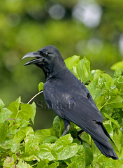 Birds of Sri Lanka , Species No 38 (Sara-D) Tags: black green nature birds canon wildlife jungle srilanka crow naturesfinest corvus corvidae canon100400l junglecrow corvusmacrorhynchos macrorhynchos asianwildlife eos400d birdsofsrilanka thewonderfulworldofbirds birdsofsouthasia wildsrilanka