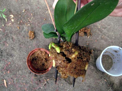 Orchid roots