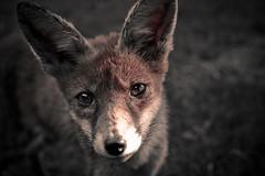 [フリー画像] [動物写真] [哺乳類] [イヌ科] [狐/キツネ]       [フリー素材]