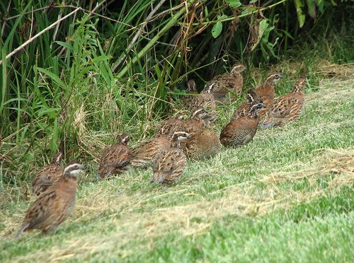 Bobwhite quail covey - photo#10