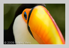 Toucan at Bird Park (Foz do Iguau) (Pramo Melo) Tags: brazil paran toucan tucano birdpark fozdoiguau parquedasaves