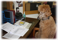 Office Manager (la POOparazzi) Tags: spoo poodle judd standardpoodle therapydog redpoodle