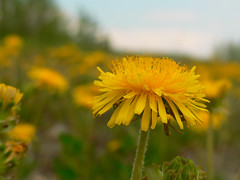Ready for a bee (s hall dawson/time for catchup) Tags: yellow spring dandelion yukon wildflower taxacum