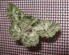 Lichen like moth (aardvaarkau) Tags: green closeup insect moth lepidoptera queensland geometridae geometrinae
