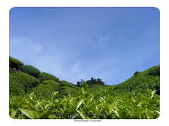 tea plantation (abu7meed84) Tags: nature teaplantation