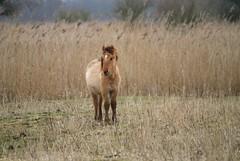 (Astrid van Wesenbeeck photography) Tags: horses nature landscapes wildlife youngster wildhorses paarden foal oostvaardersplassen konikhorses koniks konikpaarden wildepaarden