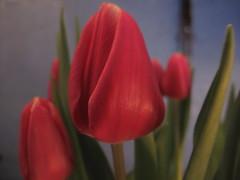Red Tulip (ToJoLa) Tags: red flower macro canon tulips explore tulip 2009 tulpen tulp goldstaraward canong10