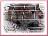 Rattus norvegicus (Brown Rat, Norway Rat) in a trap!