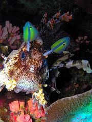lionfish (adamzubairi) Tags: redsea egypt olympus lionfish marsaalam 750z