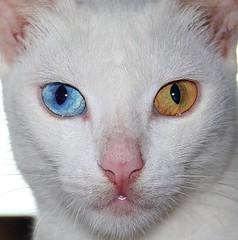 wide-eyed (jimpg2_2015) Tags: blue white yellow cat eyes feline dynamic kitty soe brilliant evocative scintillating abigfave anawesomeshot citrit ysplix overtheexcellence macrolife vosplusbellesphotos catnipaddicts