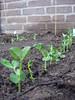 De peultjes zijn geplant