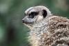 meerkat portrait (sure2talk) Tags: zoo meerkat marwellzoo pfosilver