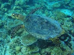 Sea Turtle (presbi) Tags: fab maldives seaturtle soe otw aplusphoto blueribbonwinne concordians goldstaraward rubyphotographer saariysqualitypictures