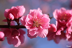 pink peach blossom by * Yumi *