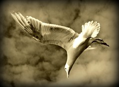 Seagull (Andrew E. Larsen) Tags: white bird up clouds wow inflight fantastic eyes perfect superb mosaic seagull great profile best excellent incredible digitalrebelxt sidelight specanimal worldbest papalars worldwidewow betterthangood andrewelarsen