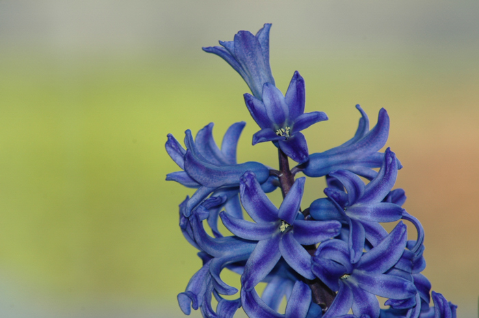 Hyacinths :: Click for Previous
