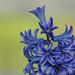 Hyacinths: March 20