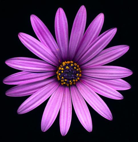 Purple Flower Scan
