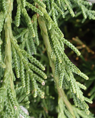 Evergreen needles closeup (Monceau) Tags: macro green architectural evergreen segmented