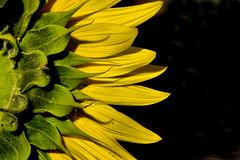 Sunback (gigilivorno) Tags: italy canon italia sunflower aprile livorno 2009 girasole 450d gigilivorno aprile2009