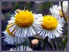 Springtime In Florida (kathycassidy57) Tags: white flower macro green nature yellow petals purple bokeh framed daisy soe picnik tbfs supershot outstandingshots supershots shieldofexcellence vosplusbellesphotos tbfscompetition31