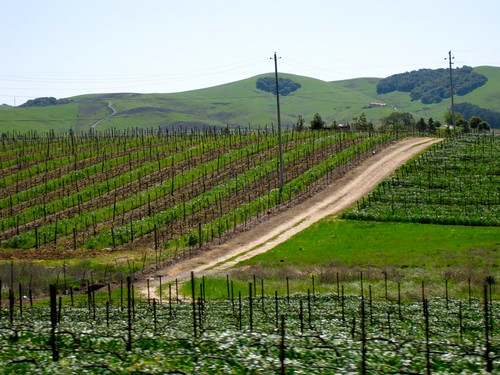 A Vineyard in Sonoma