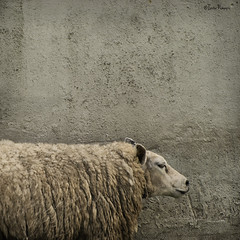 sheep against concrete (moggierocket) Tags: animal square concrete grey cool sheep head textures shade resting d200 500x500 likeastatue thelittledoglaughed artlibre artlibres winner500