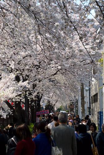 Sakura in Naka Meguro 04