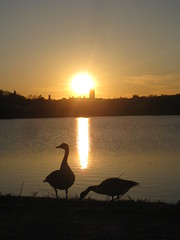 Sunset (historygradguy (jobhunting)) Tags: sunset reflection water birds animals silhouette boston ma geese massachusetts newengland reservoir thumbsup mass waterfowl brookline chestnuthill bigmomma challengeyouwinner platinumheartaward thumbsupwinner