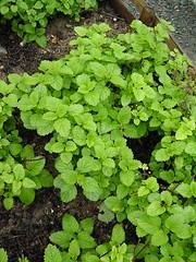 menthe (vorzinek) Tags: food france vegetables cuisine tours nourriture legumes gloriette herbes