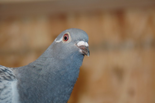 Hello There by PigeonRacer, on Flickr