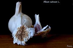 Allium Sativum L