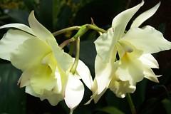 Leonara appleblossom 'pippin'