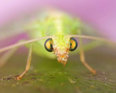 Lacewing (Chrysopidae)